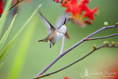 IMG_2095_edit_resized_wm (Lisa Snow Photography) Tags: hummingbird