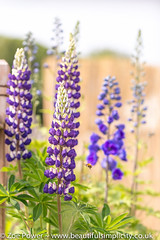 The Governor Lupins (Zo Power) Tags: flowers summer june purple mygarden delphinium lupins thegovernorlupin