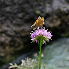 Butterfly over the abyss - explore (rotraud_71) Tags: weisbachschlucht flower wiesenflockenblume centaureajacea brownknapweed macro ant butterfly bokeh explore berchtesgadenerland