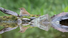 Common nightingale - Nachtigall (Claudia Brockmann) Tags: natur nature wald forest wasser water vgel vogel bird birds commonnightingale nachtigall singvogel outdoor wildlife