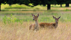 Red Deer Fawns (CJPhotography UK) Tags: wildlife animal nature natur deer reddeer fawn baby babyanimal mammal london richmondpark richmond green outdoors park grass tree treeline trees red babies yellow frame sun sunlight summer light telefoto canon zoom plants outdoor orange urban urbanwildlife urbannature tussockgrass juvenile