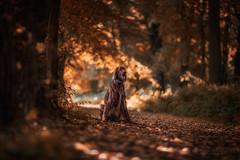 Y a n o s (Freddersen FF) Tags: dog hund animal tier wald forest natur nature freddersenff freddersenfffotografie fredjust autumn herbst nikond4 nikkor85mm14g bltter doggy sun sunset sunrise rays