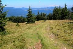 útitárs / fellow traveler (debreczeniemoke) Tags: nyár summer út road kutya dog frakk gutinhegység gutinmountains olympusem5