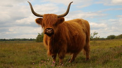 U LOOKIN at me? (robbiesteen) Tags: newforest cow cattle scottish highland animal nature outdoor heath sky grass heather orange fur beast strong strength horns 700d