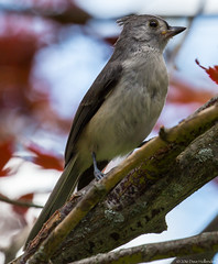 Tufted Titmouse (dhollender) Tags: bird tuftedtitmouse blueheronfarm