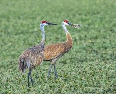 Sandhill Cranes at Fermilab (Birds&More) Tags: cranes sandhillcranes fermilab