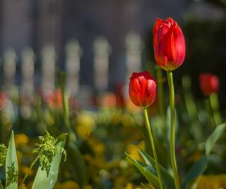 Tulipanes-Salmantinos