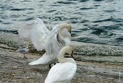 swans (welenna) Tags: swan swans schwan schwne paare bird vgel water wasser