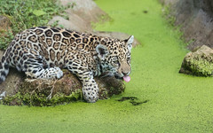 2016-05-27-0122 (bzd1) Tags: animals cats jaguar roofdieren animal mammal carnivore felidae panthera pantheraonca nature zookrefeld