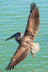 Pelicans at Murrell's Inlet - 04 (Greenstyle1) Tags: pelican sea bird flight flying wings feathers coastal marsh wetlands saltmarshes salt water animal outdoor ocean beach wildlife marshwalk murrellsinlet myrtlebeach sc southcarolina randysellet sellet