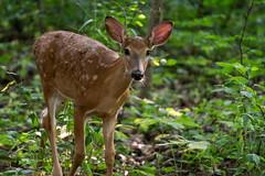 OhHello (jmishefske) Tags: d800e nikon whitetail halescorners wildlife wisconsin august fawn whitnall milwaukee park deer 2016