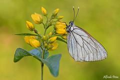 Aporia crataegi (alfvet) Tags: macro farfalle butterflies natura nature nikon d5200 veterinarifotografi valsesia insetti lepidotteri ngc npc