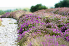 RSPB Arne (Shane Jones) Tags: rspbarne arne heather flowers purple colours nikon d500 200400vr tc14eii