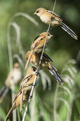 Bearded Reedling - juveniles (Bill Richmond) Tags: norfolk rspb beardedreedling paridae panurusbiarmicus titchwellmarsh nikond810 titfamily