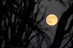 Moon atmosphere (bertrand kulik) Tags: moon lune tree nuit