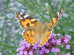 Distelfalter (Jrg Paul Kaspari) Tags: wincheringen garten verbena butterfly schmetterling distelfalter sommer summer 2016 vanessacardui