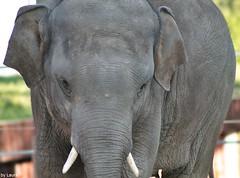 Bogor (supermandrin1) Tags: sumatran elephant elefante de sumatra animals animales grandes mamferos mammals photography fotografa zoo aquarium madrid