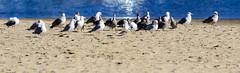 Santa Cruz Gulls (runcolt12) Tags: california nikon d800e santacruz pacificocean californiacoast seagulls beach northerncalifornia pacificcoasthighway pch