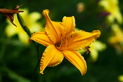 Daylily in summer time (Pensive glance) Tags: lily lilium daylily lis fleurdelis flower plant fleur plante
