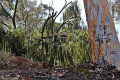 Whatever Happened To Josh And Maryam? (Art By Pem Photography: Tao Of The Wandering Eye) Tags: fineartphotography canon canoneosrebelsl1 eos rebel sl1 nature scenicsnotjustlandscapes scenery trees tree bark treebark usa california southerncalifornia socal sixwordstory 6ws