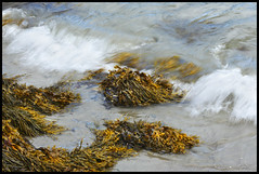 Seaweed #2; Maine 2016 (hamsiksa) Tags: ocean sea water saltwater beach coast shore rocks waves tide maine midcoastmaine knoxcounty laiytebeach camden penobscotbay atlantic algae seaweed