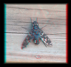 Xenox Tigrinus, Tiger Bee Fly on Gate 1 - Anaglyph 3D (DarkOnus) Tags: mate8 buckscounty cell closeup darkonus huawei pennsylvania phone tiger bee fly xenox tigrinus gate stereogram stereography stereo 3d flydayfriday day friday hfdf fdf anaglyph