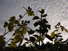 blackberries [and ivy] (the incredible how (intermitten.t)) Tags: blackberries sun lowsun leaves light sky curdled ivy 20160731 7596 ceredigion