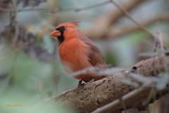 ... la  natura che emozioni .... (Fulvia e Gabriele : ) ....) Tags: natura animali uccelli cardinale rosso oasi sant alessio