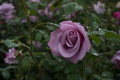 Purple Rose (fred.carter) Tags: garden travelling usa flora fredcarter northamerica rosebud overcast travel flowerbud vacation weather roses flowers plant
