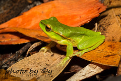 Leaf Green Tree Frog (Litoria nudidigita) (peter soltys) Tags: petersoltys herping frogging adventure photobycy macro photo photography evolution nature wild wildlife canon frog amphibia amphibiant leafgreentreefrog litorianudidigita litoria