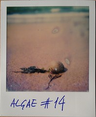 Algae #14 (angel pastor) Tags: pebble playa beach seaweed alga algae pastor sx70 polaroid 14