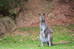 Red necked wallaby (Cloudtail the Snow Leopard) Tags: knguruh zoo saarbrcken tier animal mammal sugetier bennett wallaby red necked macropus rufogriseus