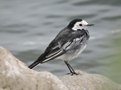 Pied wagtail (deannewildsmith) Tags: earthnaturelife wagtail bird