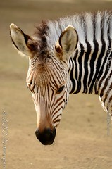 Hartmanns bergzebra - Equus zebra hartmannae - Hartmann's mountain zebra (MrTDiddy) Tags: hartmanns bergzebra equus zebra hartmannae mountain berg mammal zoogdier jong young foal veulen roselinde zooantwerpen zoo anterp antwerpen