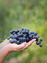 Erntedank (Nordseher) Tags: blau fruchte geben geste grun trauben