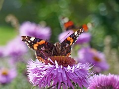 Red Admiral (eric robb niven) Tags: ericrobbniven redadmiral butterfly wildlife nature summerwatch autumnwatch macro