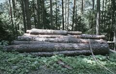 (Heisenberg Y) Tags: wood summer color film analog woods colore alto yashica legna bosco adige pellicola analogico fx3