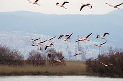 IMGP8912 (Axel12p) Tags: flamingo thessaloniki  kalochori  pentaxda55300   kaloxwri pentaxk5ii