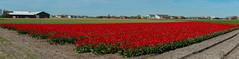 20150421-Naamloos_panorama1 (nikontino) Tags: tulipa ichliebetulpen