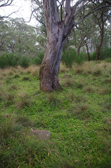 Stellaria flaccida and Eucalyptus stellulata, Polblue Swamp, Barrington Tops National Park, NSW, 07/02/15 (Russell Cumming) Tags: plant newsouthwales eucalyptus stellaria myrtaceae muswellbrook caryophyllaceae stellariaflaccida eucalyptusstellulata barringtontopsnationalpark polblueswamp