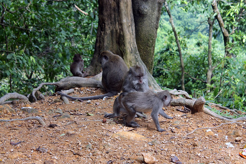 20150224_110429 Pusuk Monkey Forest, Lombok