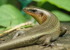 lizard DSC08043 (Amir H zah2) Tags: animal lizard reptil hewan kadal ampibi