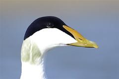 Æðarfugl - Somateria mollissima - Common Eider. (oskar.sigurmundason) Tags: closeup island iceland nikon sigma common eider mollissima somateria æðarfugl d7000 150600