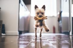 #boomer (danielwharton) Tags: dog dogs yorkie yorkshire terrier boomer
