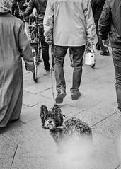 """""""... einige wenige Vorlufer, sehr viele Mitlufer und eine unbersehbare Zahl an Nachlufern."""" (Karo Krmer) Tags: street dog berlin analog 35mm blackwhite walk pedestrian hund monochrom canonae1 neuklln gassi schwarzweis strase fusgnger"""