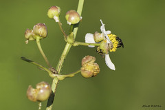 resHI 2537 wapato blm with 4 bugs (annSatt) Tags: insect bee arrowhead sagattarialatifolia southlakehowardnaturepark wapatobloom sattiaria