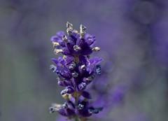 Unser Garten im Juli 2016 (Gnter Hentschel) Tags: lavendel germany germania garten garden deutschland alemania allemagne europa nrw nikond3200 nikon d3200 outdoor flickr farben blau blumen blume blte pflanze
