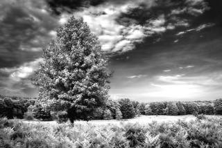 Big Field, Tall Tree