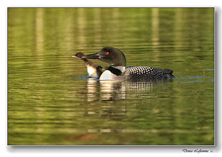 1E1A3556-DL  -  Plongeon huard / Common Loon.