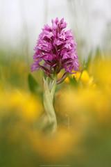 LA VIE EN ROSE (Obikani) Tags: naturaleza orchid colour macro orquidea silvestre euskadi araba lava anacamptis pyramidalis